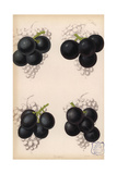 Grape Varieties: Black Hamburg And Gros Colman, Vitis Vinifera Giclee Print by Walter Hood Fitch