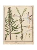Madonna Lily, Lilium Peregrinum Giclee Print by Friedrich Gottlob Hayne