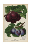 Plum Cultivars: Belle De Louvain And Boulouf, Prunus Domestica Giclee Print by Miss E. Regel
