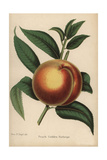 Peach Cultivar, Golden Rathripe, Prunus Persica Giclee Print by Miss E. Regel