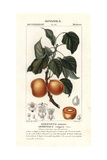 "Apricot, Prunus Armeniaca, From Pierre Bulliard's ""Flora Parisiensis,"" 1776, Paris Giclee Print by Pierre J-F Turpin"