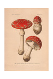 Poisonous Mushroom Amanita Muscaria, Scarlet Top with White Flecks Giclee Print by Leon Dufour