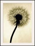 Backlit Dandelion Framed Giclee Print by Jenny Kraft