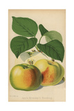 Apple Variety, Bramley's Seedling, Malus Domestica Giclee Print by Walter Hood Fitch