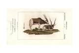 Screwhorn Antelope, Addax Nasomaculatus. Critically Endangered Giclee Print by  Chiussone