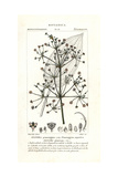 Common Water-plantain, Alisma Plantago-aquatica Giclee Print by Pierre J-F Turpin