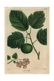 Garland Crab Tree From Michaux's North American Sylva, 1857 Giclee Print by Pancrace Bessa