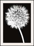 Dandelion Framed Giclee Print by Jenny Kraft