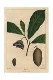 Pawpaw Tree From Michaux's North American Sylva, 1857 Impression giclée par Pancrace Bessa