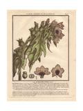 Henbane Or Stinking Nightshade, Hyoscyamus Niger Giclee Print by Pierre Bulliard