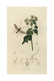 Zele Albitarsus, Zemiotes Albiditarsus, White-footed Ichneumon Giclee Print by John Curtis