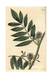 Prickly Headed Liquorice, Glycirrhiza Echinata Giclee Print by John Curtis