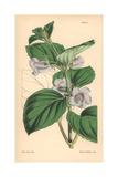 Pale Flowered Gloxinia, Gloxinia Pallidiflora Giclee Print by Walter Hood Fitch