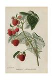Raspberry Variety, Lord Beaconsfield, Rubus Idaeus Giclee Print by J.L. Macfarlane