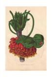 Rosy Astrapaea, Astrapaea Wallichii Giclee Print