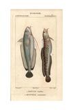 Forkbeard, Phycis Phycis, And Fivebeard Rockling, Ciliata Mustela Giclee Print by Jean Gabriel Pretre