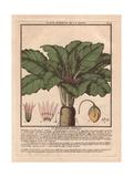 Female Mandrake Plant, Atropa Mandragora Or Mandragora Officinarum Giclee Print by Pierre Bulliard