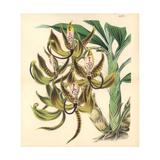Mr. Loddiges' Swan Orchid, Cycnoches Loddigesii Giclee Print by Walter Hood Fitch