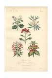White Jasmine, Cassava, Hummingbird Bush And Shrimp Plant Giclee Print by Edouard Maubert