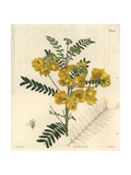 New Holland Cassia, Cassia Australis Giclee Print by Miss C. Curtis