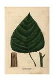 Carolinian Poplar Tree From Michaux's North American Sylva, 1857 Giclee Print by Henri Joseph Redouté