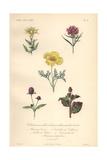 Golden Bartonia, Chinese Carnation, Chinese Indigo Plant Giclee Print by Edouard Maubert