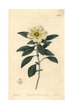 Venice-mallow Flowered Turnera, Turnera Trioniflora Giclee Print by John Curtis