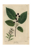 June Berry Tree From Michaux's North American Sylva, 1857 Giclee Print by Pancrace Bessa