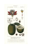 Winged-stem Passion Flower, Passiflora Alata, with Fruit Giclee Print by Pierre J-F Turpin