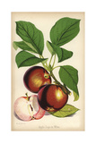 Apple Variety, Sops in Wine, Malus Domestica Giclee Print by Walter Hood Fitch