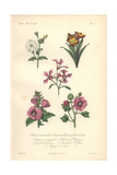 Petunia, Wallflower, Clarkia, Purple Mallow, And Malope Giclee Print by Edouard Maubert