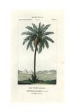 Date Palm, Phoenix Dactylifera Giclee Print by Pierre J-F Turpin