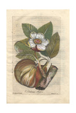 Rose Or Elephant Apple Tree, Dilenia Indica, Native To Southeast Asia Giclee Print by P. Maioli