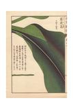 Leaf of Round Turmeric Giclee Print