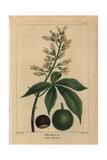 Ohio Buckeye Tree From Michaux's North American Sylva, 1857 Giclée-Druck von Pancrace Bessa