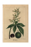 Ohio Buckeye Tree From Michaux's North American Sylva, 1857 Giclee Print by Pancrace Bessa