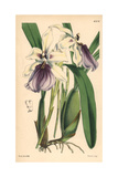 Showy Miltonia Orchid, Miltonia Spectabilis Giclee Print by Walter Hood Fitch