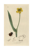 Spercheus Emarginatus, Notch-headed Hydrophilus Beetle Giclee Print by John Curtis