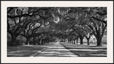 Live Oaks Along Road Posters by William Manning