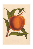 Ripe Fruit And Leaves of the Salway Peach, Prunus Persica Giclee Print