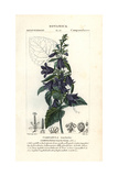 Nettle-leaved Bellflower, Campanula Trachelium Giclee Print by Pierre J-F Turpin