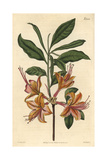 Flame-coloured Azalea, Azalea Calendulacea Flammea Giclee Print by John Curtis