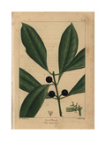 Devil Wood Tree From Michaux's North American Sylva, 1857 Giclee Print by Henri Joseph Redouté