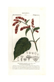 Princess Feather Plant, Persicaria Orientalis Giclee Print by Pierre J-F Turpin