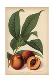 Humboldt Nectarine, Prunus Persica Cultivar Giclee Print by Walter Hood Fitch