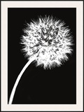 Dandelion Tilt Framed Giclee Print by Jenny Kraft