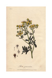 Common Rue Or Herb-of-grace, Ruta Graveolens Giclee Print by E. Weddell