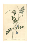 Hooded-flowered Clitoria, Clitoria Heterophylla Giclee Print by John Curtis