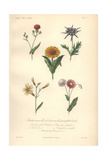 Arnoglossum, Teasel, Pot Marigold, Painted Tongue And Purple Rhodanthe Giclee Print by Edouard Maubert
