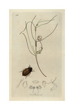Elophorus Fennicus, Helophorus Rufipes, Broad Elophorus Beetle Giclee Print by John Curtis